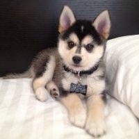 Породы собак: помски