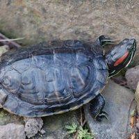 Красноухая черепаха в домашних