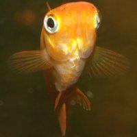 Рыбка меченосец: содержание