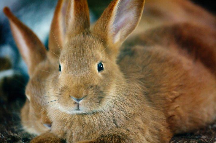 Прививки кроликам лапимун отзывы форум - a