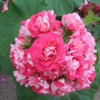 http://anydaylife.com/uploads/articles/hobby/plants/care/how-to-care-for-geraniums-1.jpg
