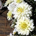 http://anydaylife.com/uploads/events/holidays/cultural/chrysanthemum-day.jpg
