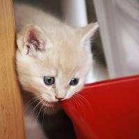 Короткошерстные британские кошки