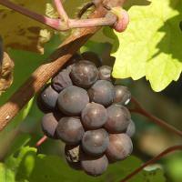 Как правильно сделать обрезку винограда пошаговое