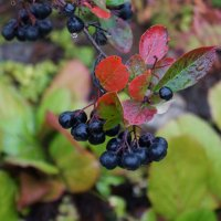 https://anydaylife.com/uploads/articles/recipes/conservation/aronia-conservation-recipes-s.jpg
