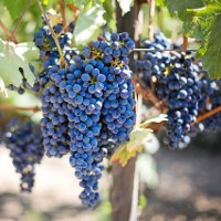 День божоле-нуво — фестиваль молодого вина во Франции