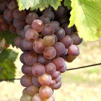 Фестиваль вина «Троянда Карпат»