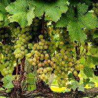 Фестиваль вина «Донская лоза»