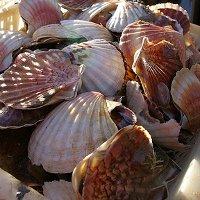 Фестиваль морских гребешков в Бретани