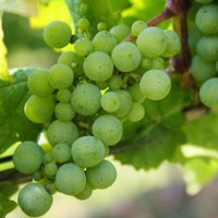 Фестиваль молодого вина в Чехии (Винобрани)